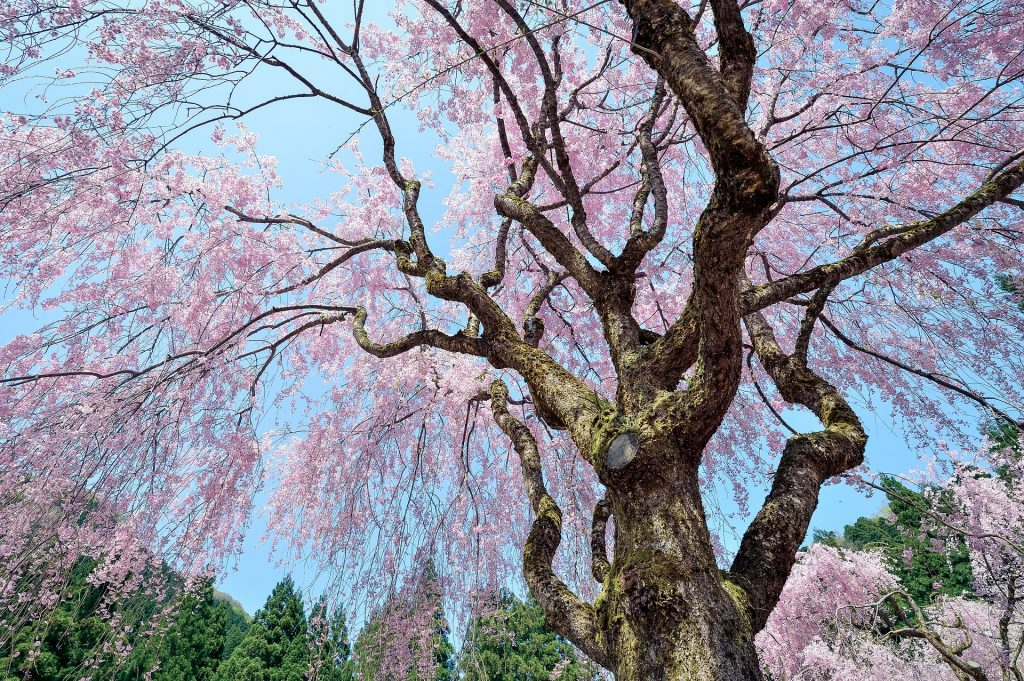 weeping-cherry-tree-image