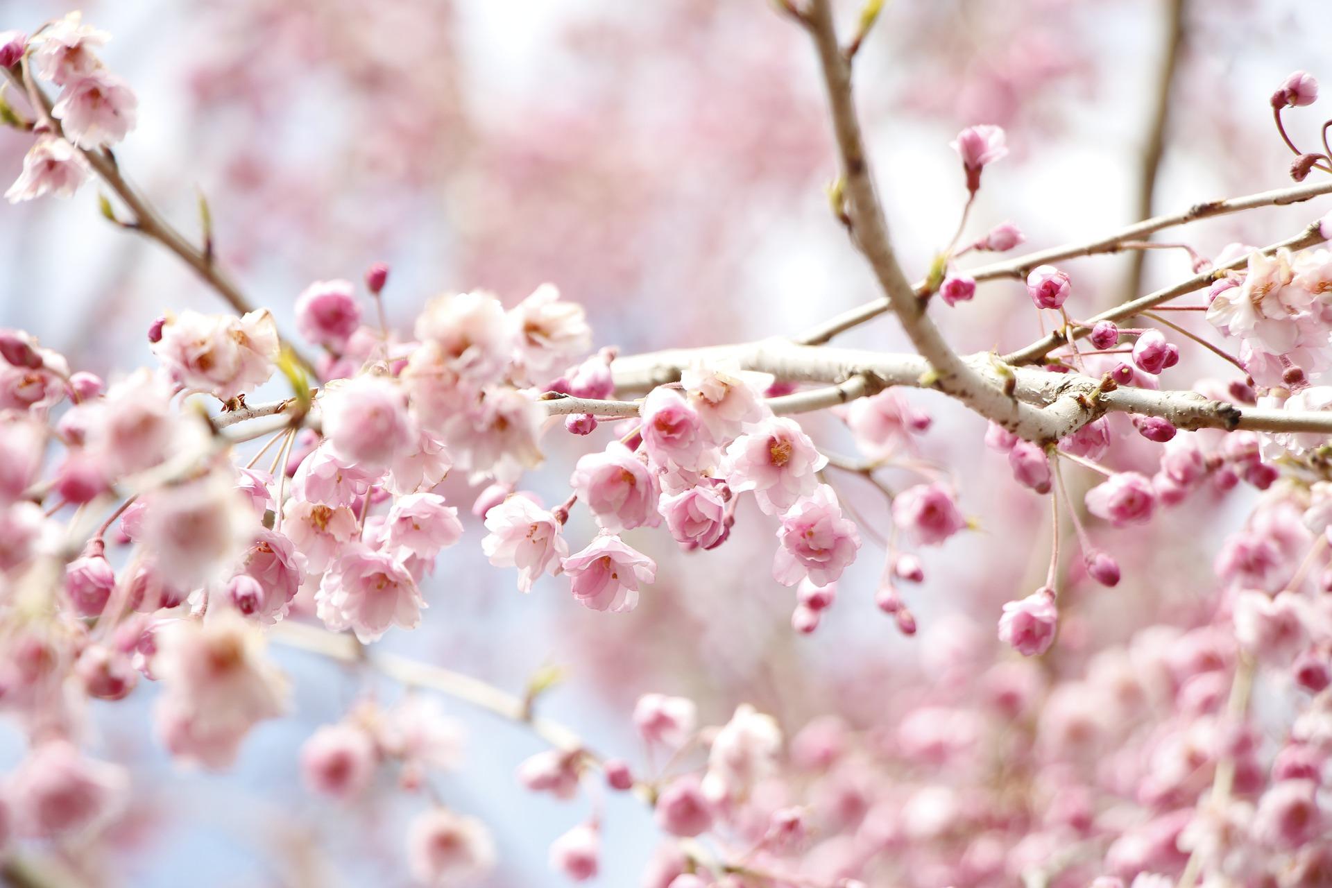 weeping-cherry-tree-flowers