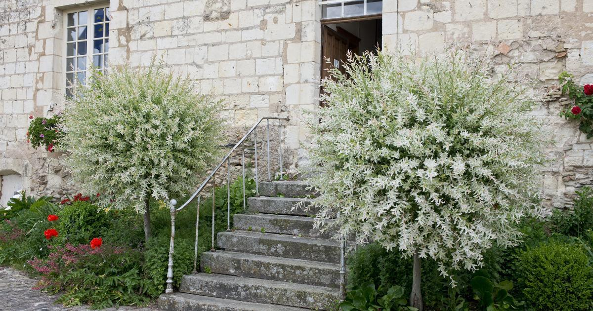 willow trees by the steps of the house